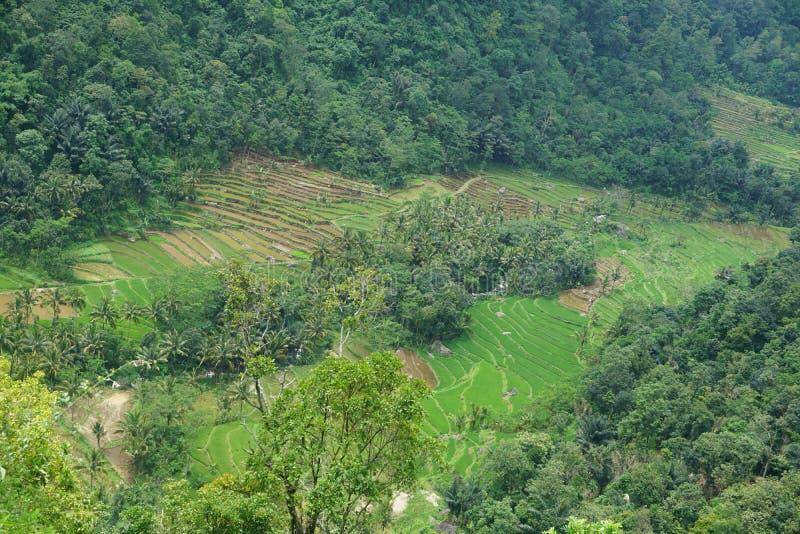 vistas de los campos colgantes del arroz fotografía de archivo libre de regalías