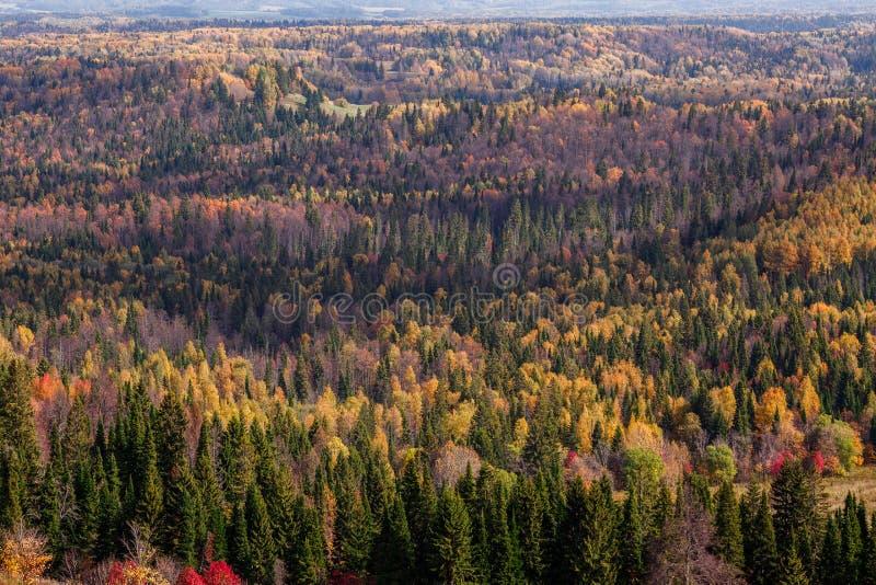 Vistas impressionantes da floresta do russo de conífero e de árvores de folhas mortas no período dourado de outono foto de stock royalty free