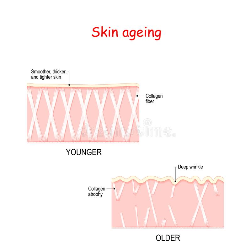 Visual representation of skin changes over a lifetime stock illustration