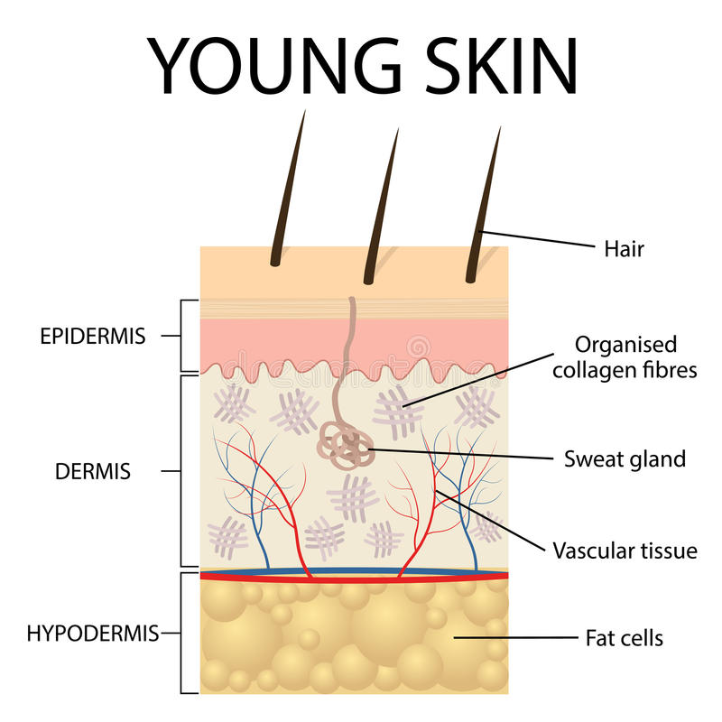 Visual representation of young skin. stock illustration