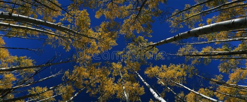 Visualisez regarder vers le haut les arbres de tremble d'automne, Co image stock