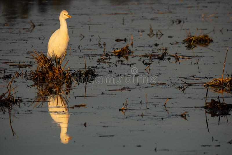 Vit ägretthäger reflekterad över svart förorenat vatten som ser till rätten arkivbild