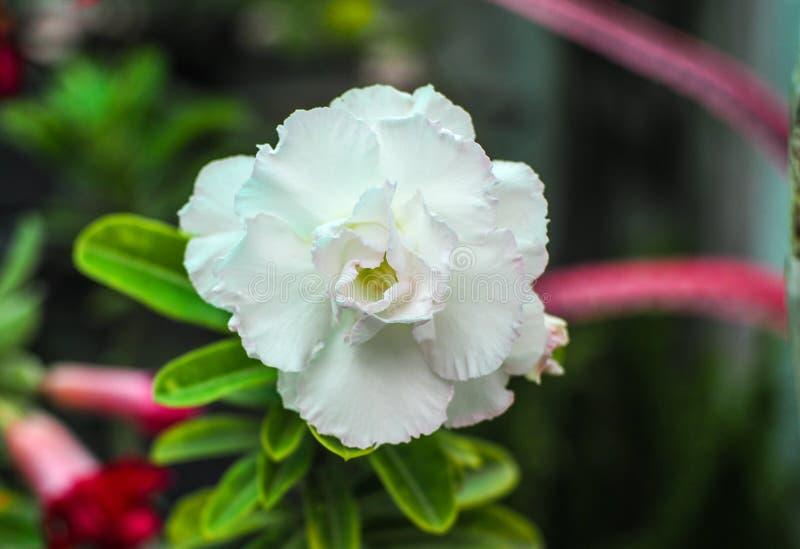 Vit adenium för Closeup i trädgården royaltyfri foto