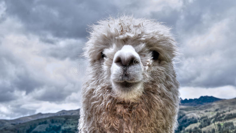 Vit alpaca royaltyfri foto