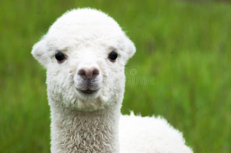 Vit alpaca behandla som ett barn closeupen royaltyfri bild