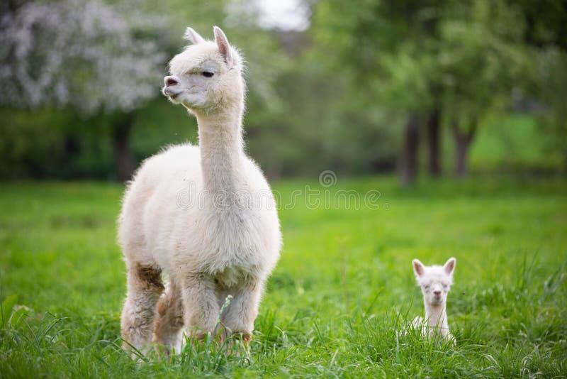 Vit Alpaca med avkommor royaltyfri fotografi