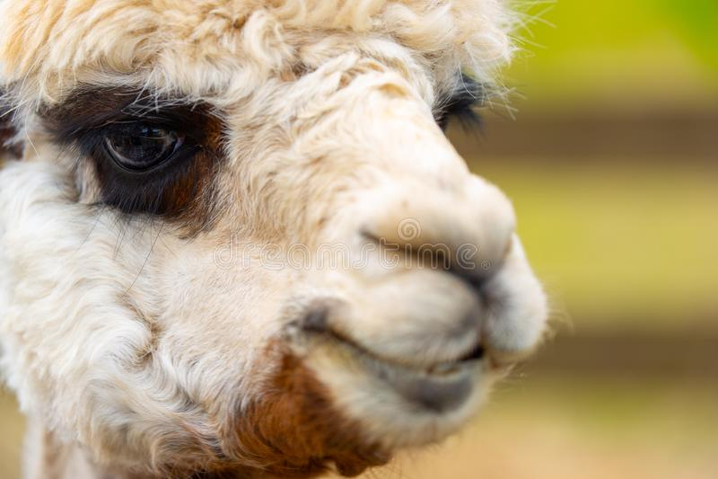 Vit alpaca med mörka ögon framme av staketet fotografering för bildbyråer