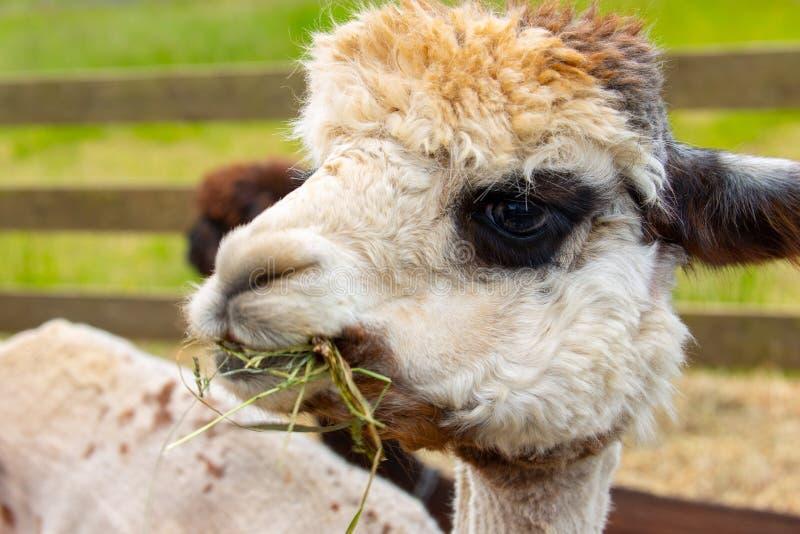 Vit alpaca med mörka ögon som tuggar gräs och hö fotografering för bildbyråer