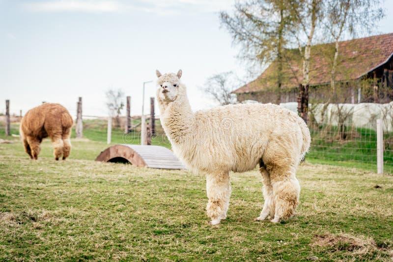 Vit alpaca på en ranch arkivbilder