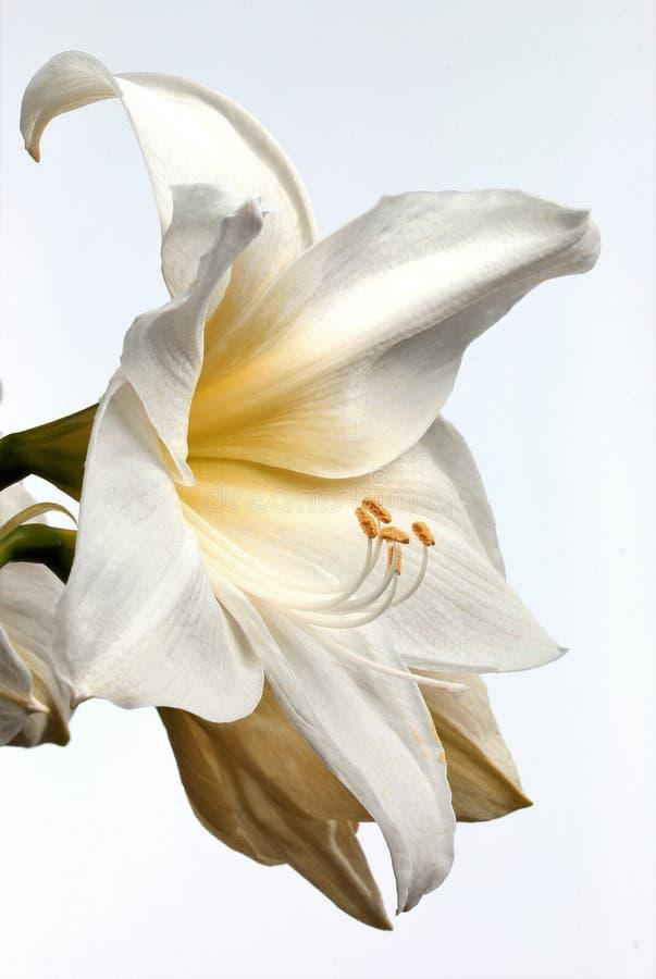 Vit amaryllisblomma royaltyfri bild