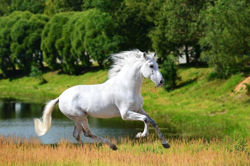 Vit Andalusian hästkörningsgalopp i sommar royaltyfri foto