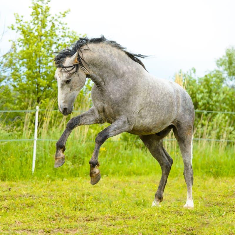 Vit Andalusian hästkörningsgalopp i summe fotografering för bildbyråer