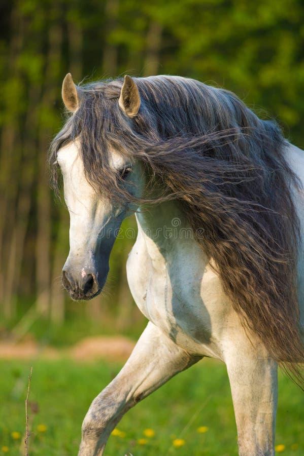 Vit Andalusian häststående i sommar royaltyfri foto