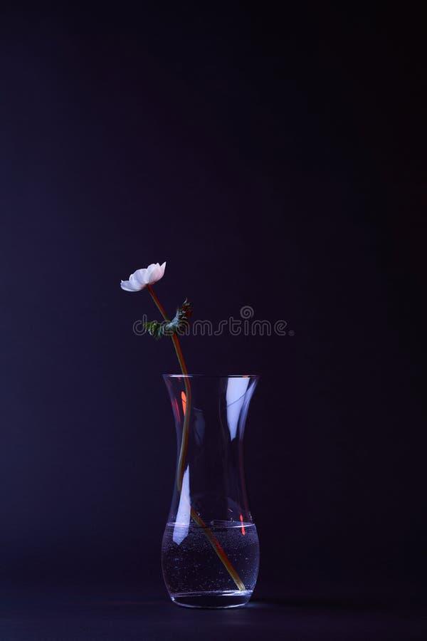 Vit anemonblomma med gräsplansidor i vas royaltyfria foton