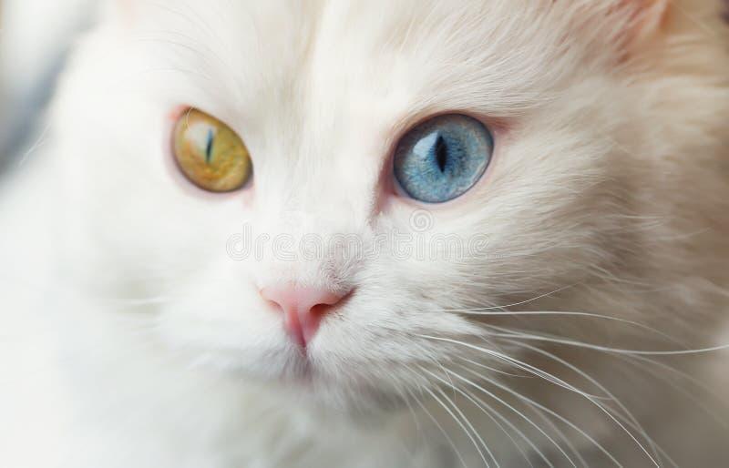 Vit angora- katt med olika ögon för blått och för guling arkivbild