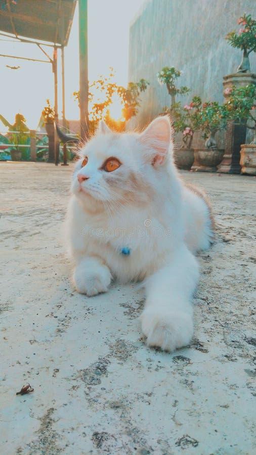 vit angora- katt som tycker om morgonsolen royaltyfri fotografi