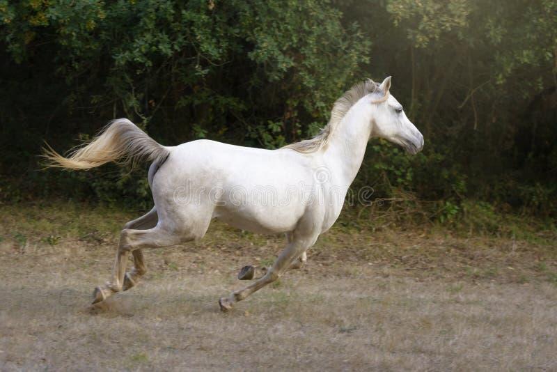 Vit arabisk häst som galopperar i ängen fotografering för bildbyråer