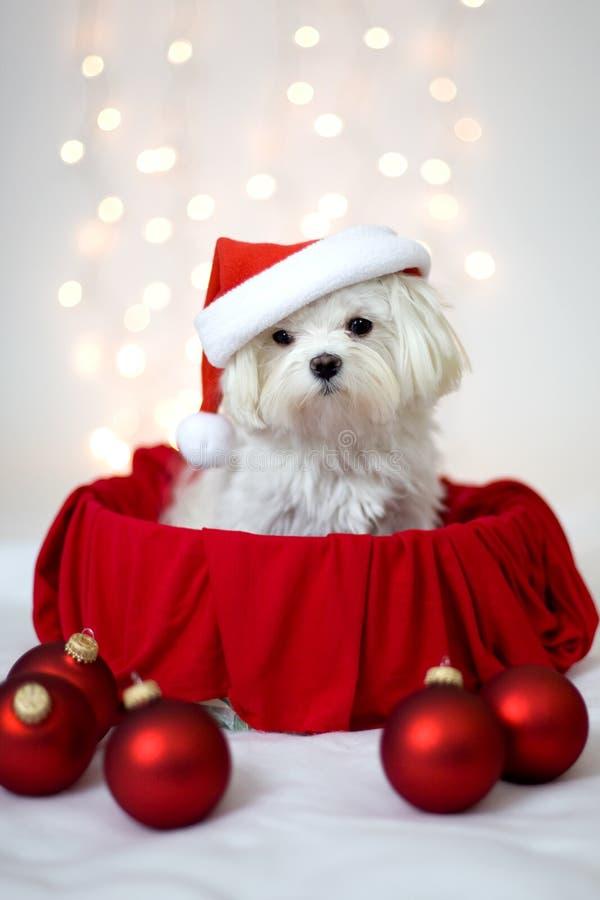 Vit bärande jultomtenhatt för maltesisk hund royaltyfria bilder