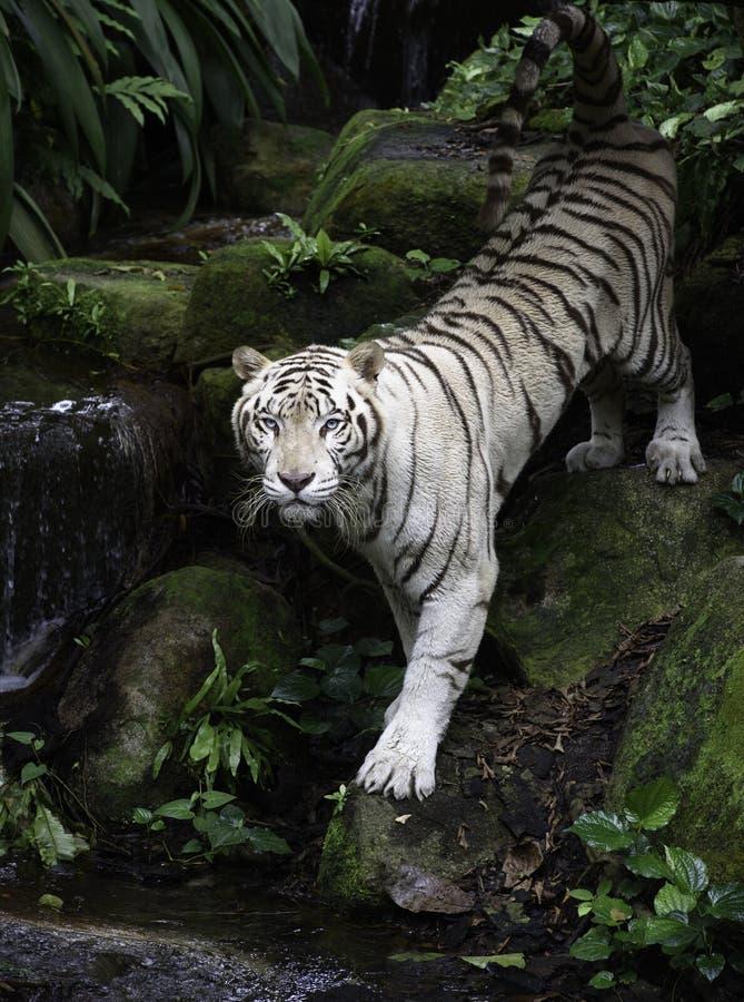 Vit Bengal tiger på flodbanken royaltyfria bilder