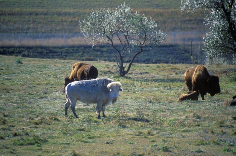 Vit bison, vita moln, sakral buffel, nationellt buffelmuseum, Jamestown, SD arkivfoto