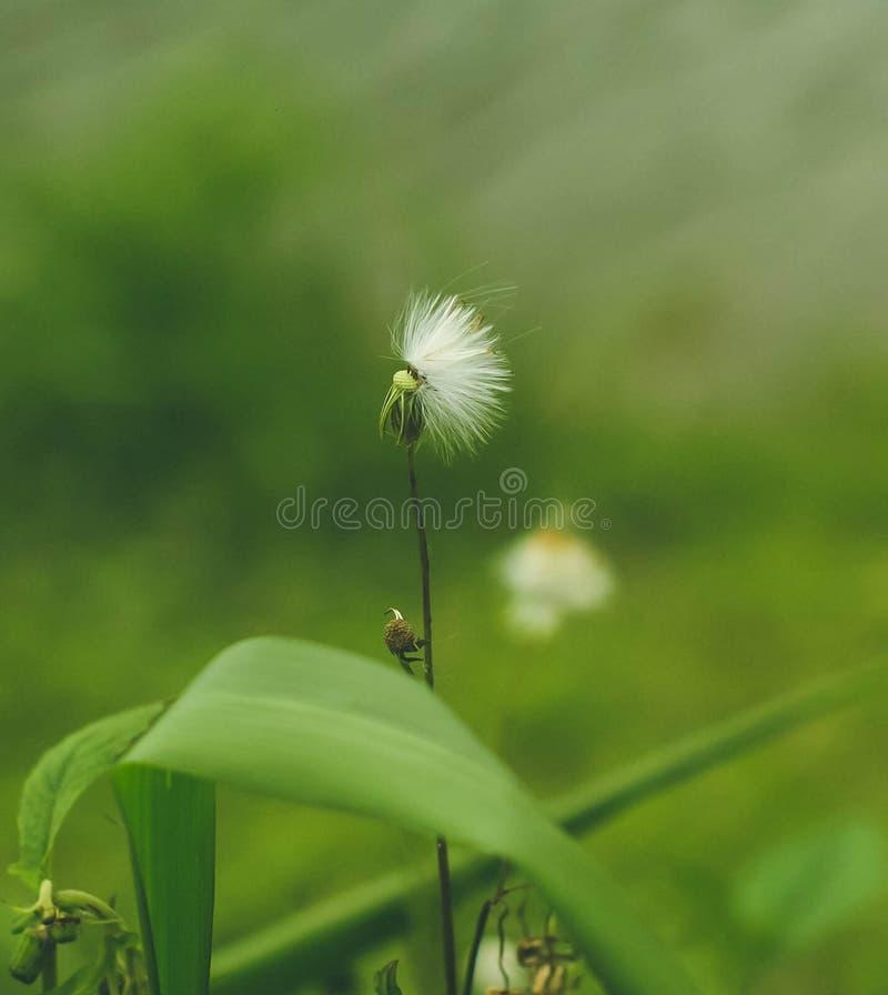 Vit blåsig blomma arkivbilder