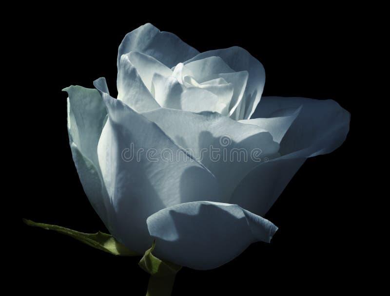 Vit-blått ros isolerad bakgrundsblackblomma Närbild Skott av ljus - blå blomma arkivfoton