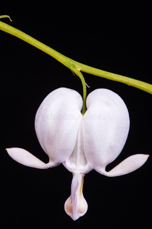 Vit blomma för blödande hjärta mot svart bakgrund (Dicentraspectabilisalbum) royaltyfria bilder