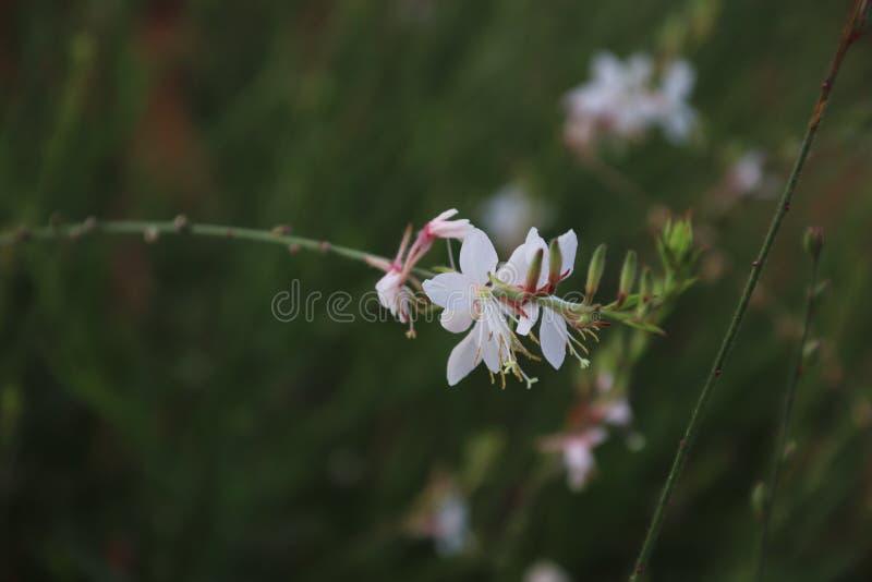 Vit blomma för en rosa färg och royaltyfri foto