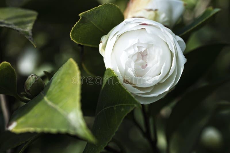 Vit blomma för japansk camellia på en buske royaltyfri bild