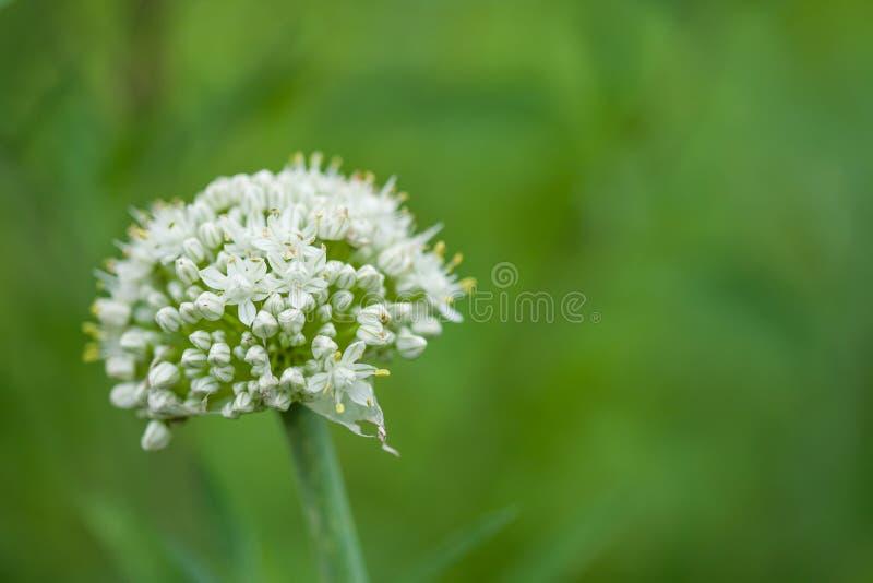 Vit blomma för lök på grön bakgrund royaltyfri bild