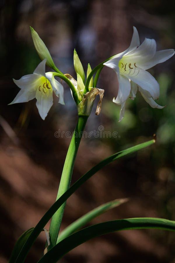 Vit blomma för ledsen tapet fotografering för bildbyråer