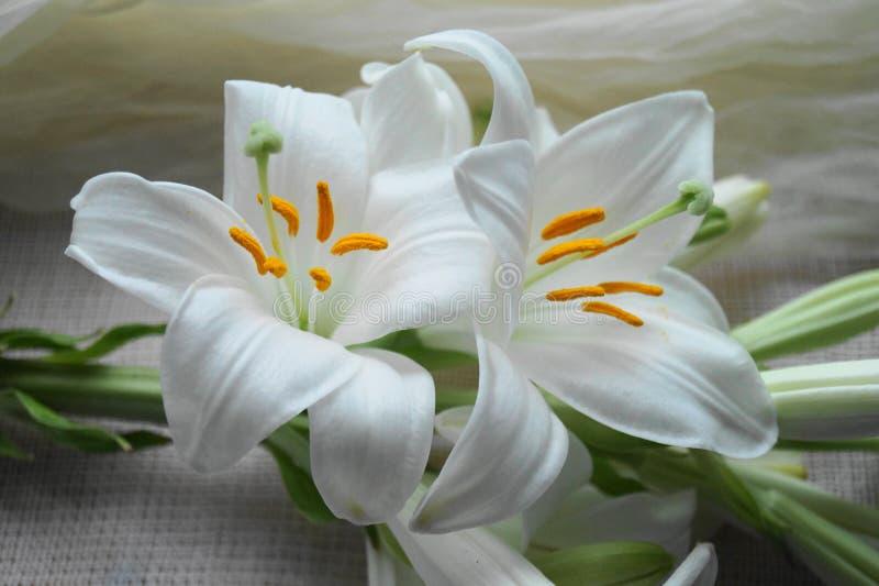 Vit blomma för Madonna lilja, arkivbilder