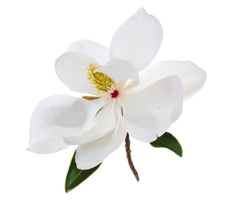 Vit blomma för magnoliablommamagnolior royaltyfri bild