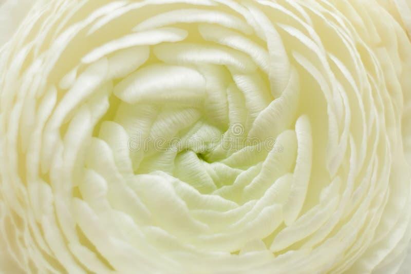 Vit blomma för makro av ranunculusen som bakgrund arkivfoto