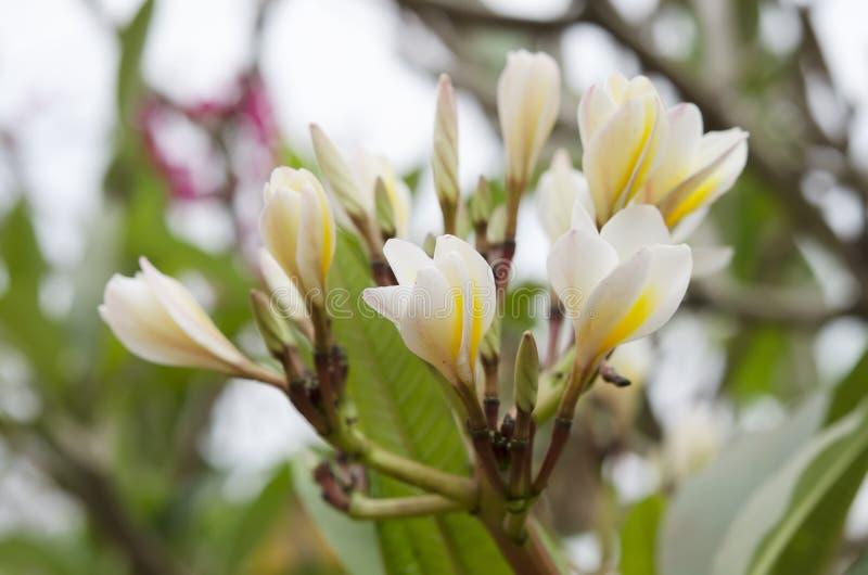 Vit blomma för makro i Thailand, LAN-thomblomma, Frangipani, Champa arkivbild