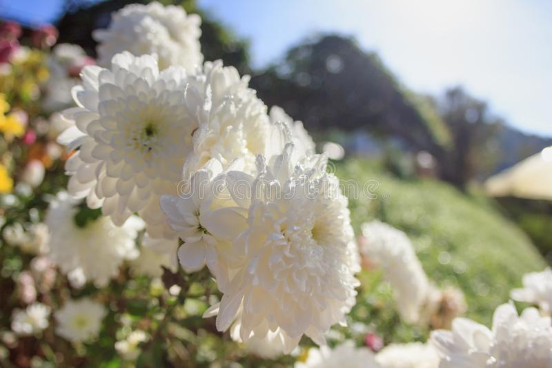 Vit blomma för närbild med solsken i vinter, vita blommor i trädgården, oskarp bakgrund för färgrik fokus för blomma vald royaltyfri foto