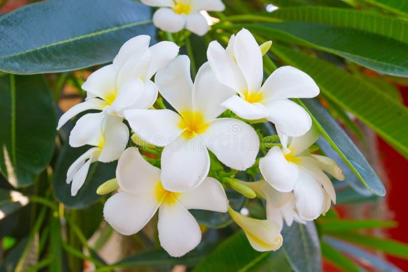 Vit blomma för Plumeria royaltyfria bilder