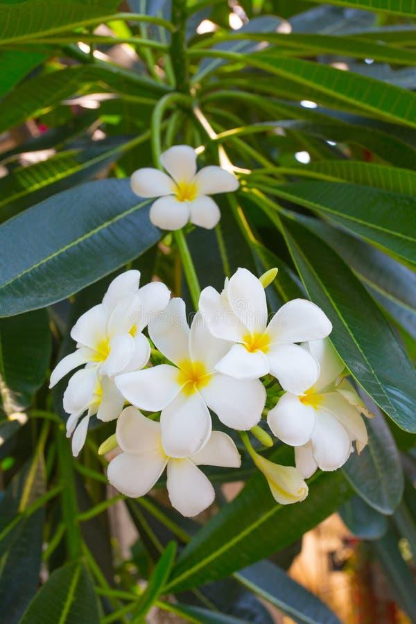 Vit blomma för Plumeria fotografering för bildbyråer
