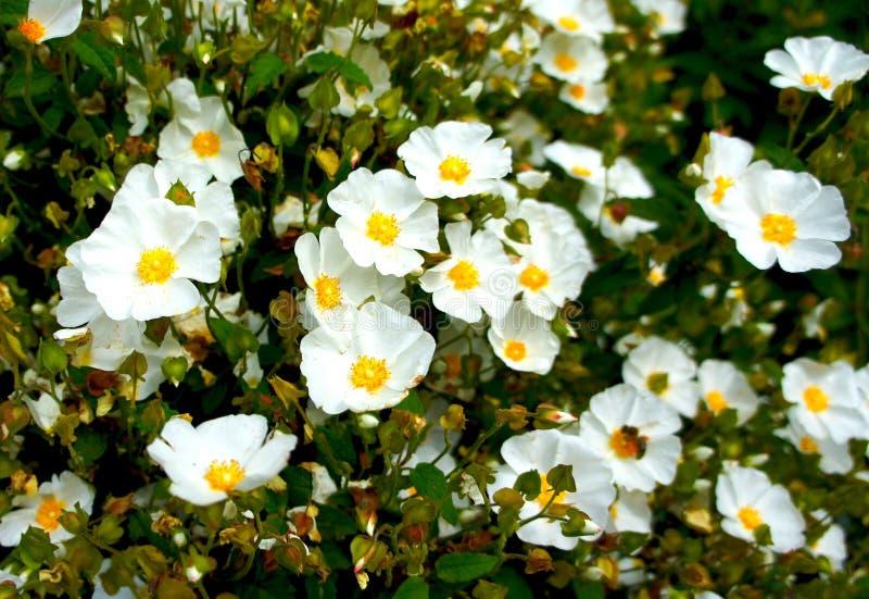 Vit blomma för Rockrose (Cistushybridus) royaltyfria bilder