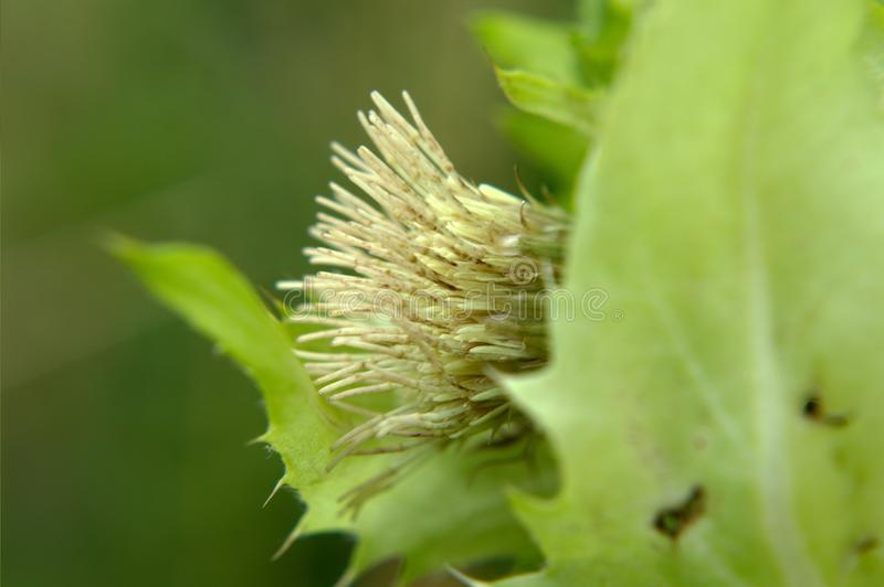 Vit blomma för Siberian kåltistel arkivfoton