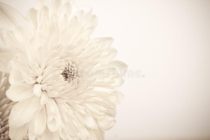 Vit blomma för tappning. arkivbilder