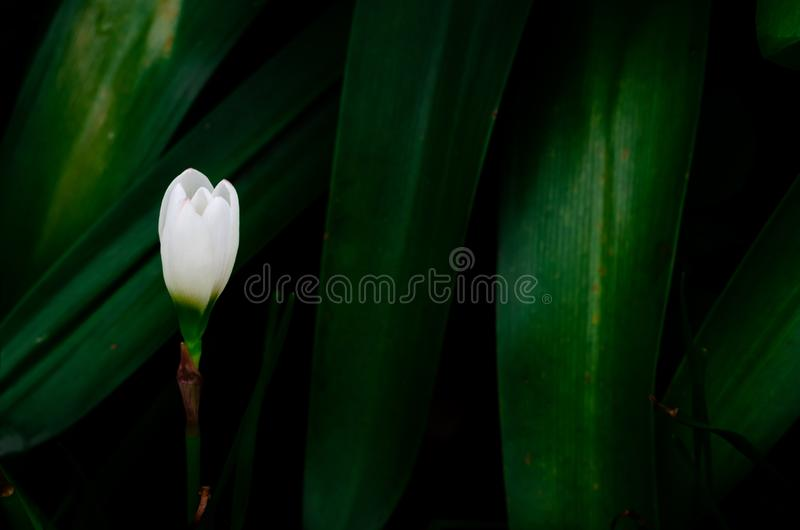 Vit blomma f?r f?rgregnlilja som blommar i regns?song p? m?rkt - gr?n sidabakgrund royaltyfri foto