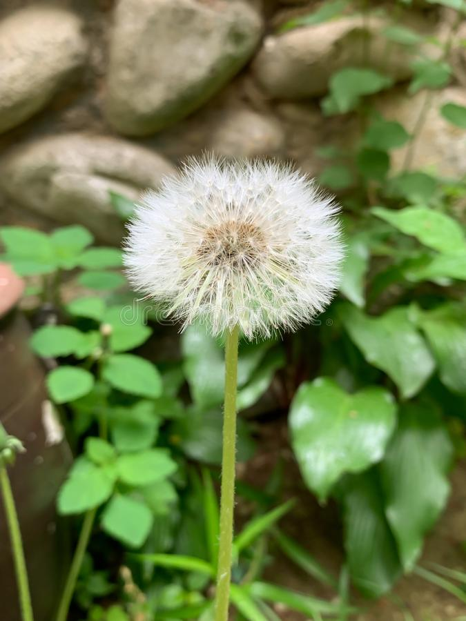 Vit blomma gräsbakgrund royaltyfria foton