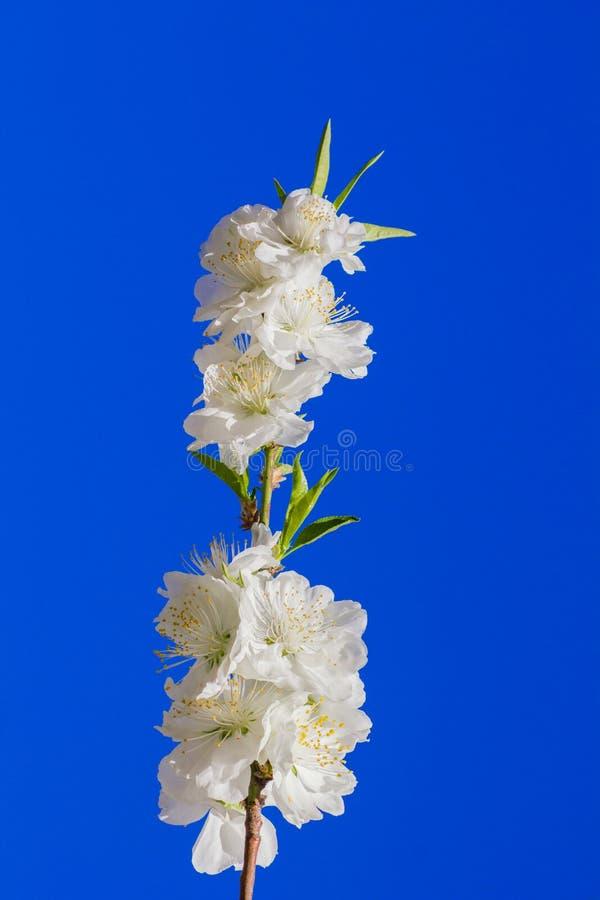 Vit blomma i bl? himmel royaltyfri bild