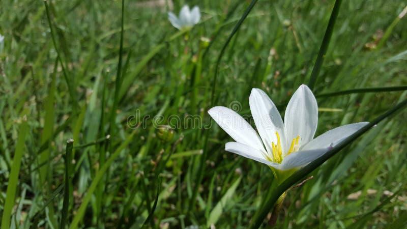 Vit blomma i fältet royaltyfria bilder