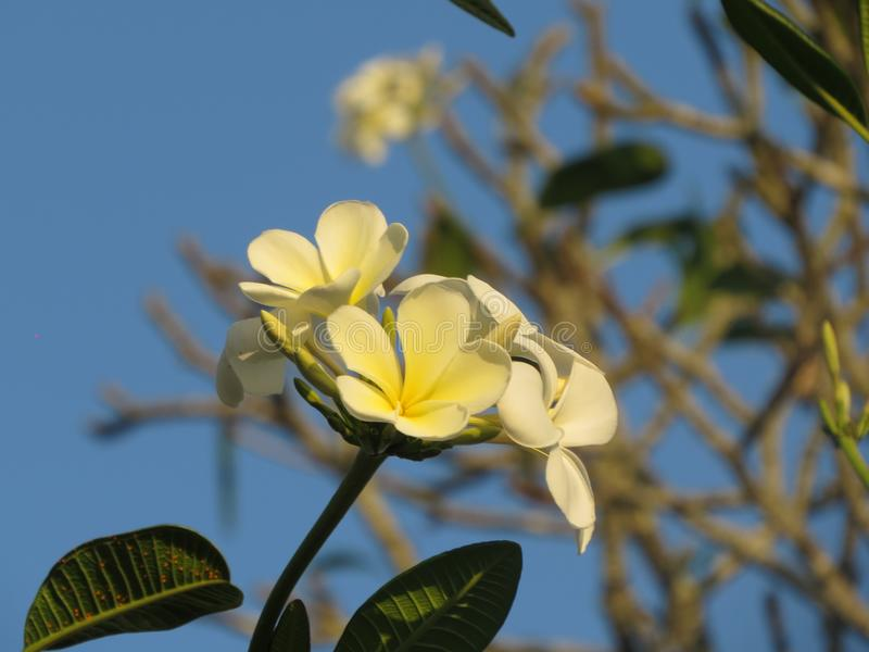 Vit blomma i tre arkivbild