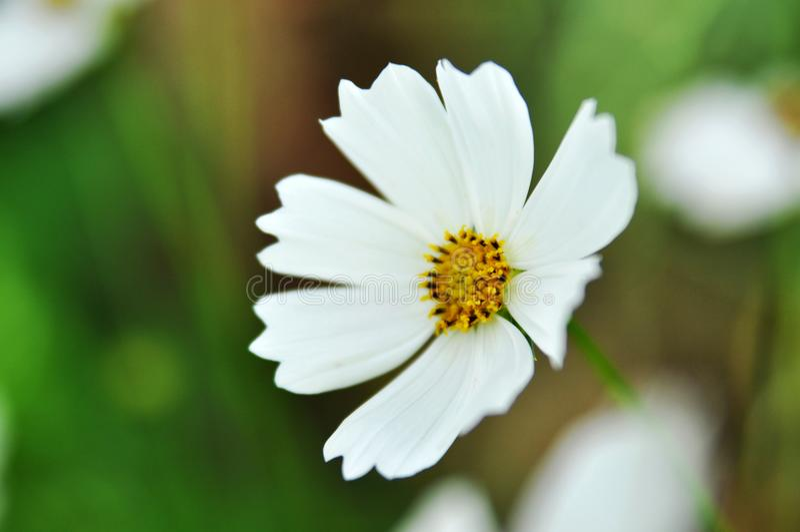 vit blomma med gult i mitten namn