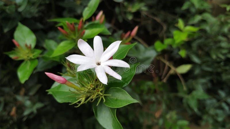 Vit blomma med den härliga lukten arkivbild