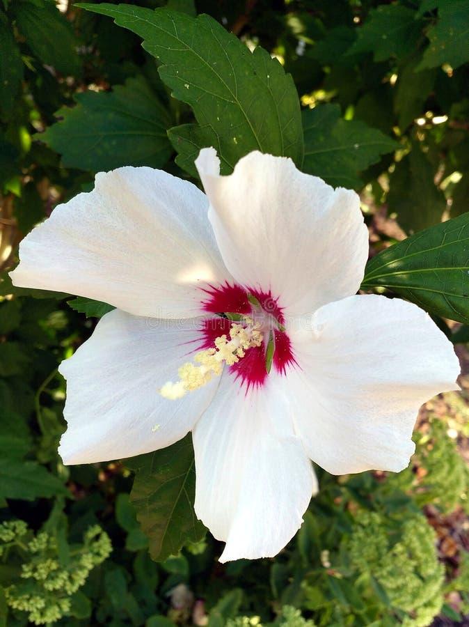 Vit blomma med purpurfärgad hjärta: Gemensam hibiskus royaltyfri foto