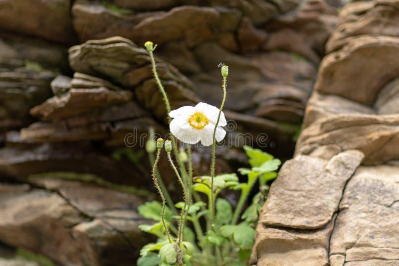 Vit blomma mot en bakgrund av steniga stenar arkivbilder